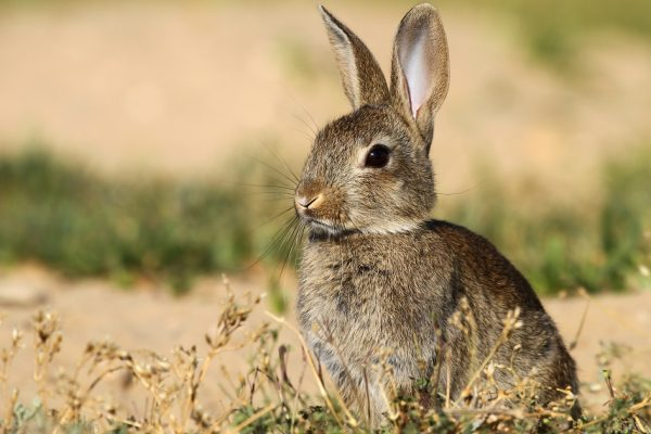La C.H. Guadiana autoriza la caza de conejos en zona de D.P.H. en el ámbito territorial del Alto Guadiana